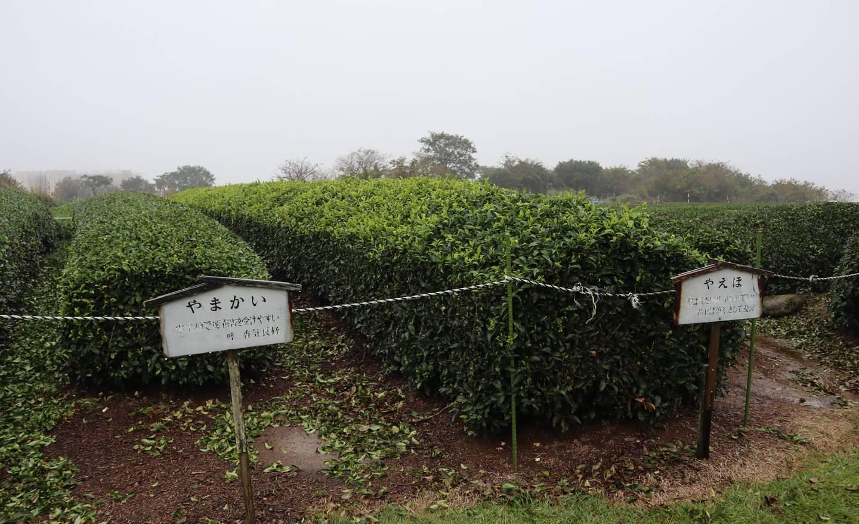 Šizuoka a príbeh zeleného čaju