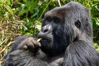 22 goríl v dažďovom pralese a BUBO skupina - autentický zážitok