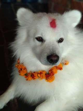 Nepálsky festival psov - Kukur Tihar