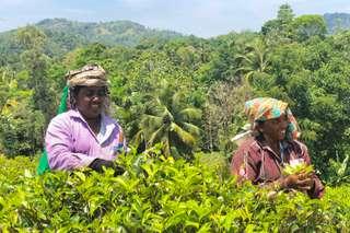 Cejlónsky čaj - významná komodita Srí Lanky