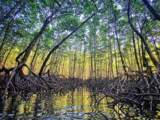 Mangrovy v Aonangu