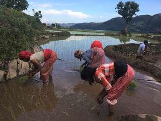 Pokhara - pestovanie ryže