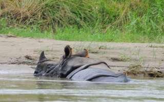 Nosorožce v Chitwane