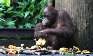 Orangutany na Borneu!