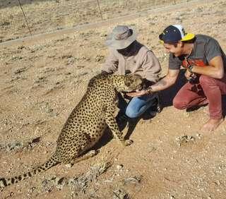 Kŕmenie gepardov v Namíbii