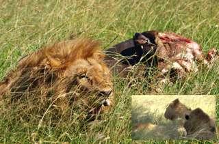 Štyria králi Masai Mara