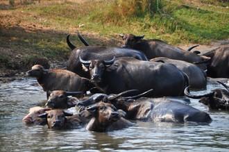 Stádo byvolov na rieke Kwai alebo kanchanaburské safari