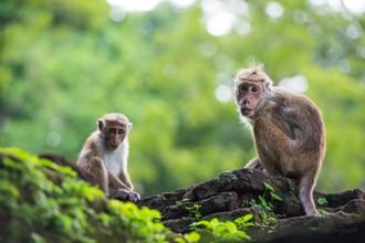 Opičie kráľovstvo v Polonnaruwe