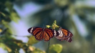 Nešťastný osud Monarch motýľov