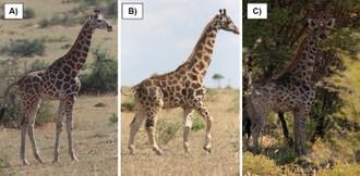Žirafa trpaslík z Namíbie