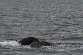 Spev veľryby