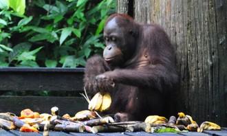Orangutany, medvede, dažďový prales. Borneo!
