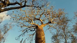 Majestátne stromy