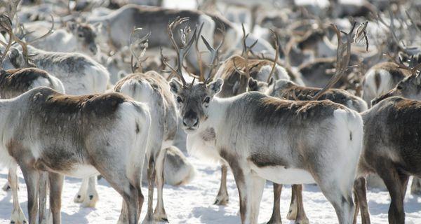 Zvieratá za polárnym kruhom
