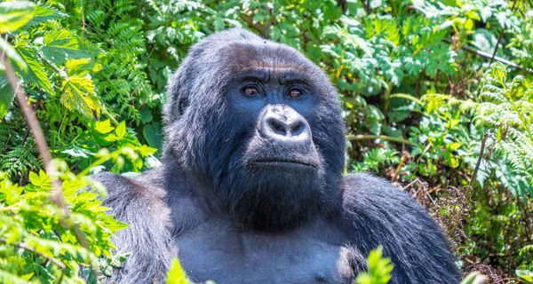 Ako sme stopovali gorily vhmle