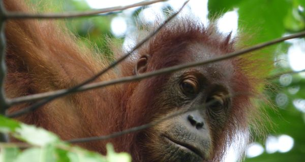 Orangutany v Gunung Leuser