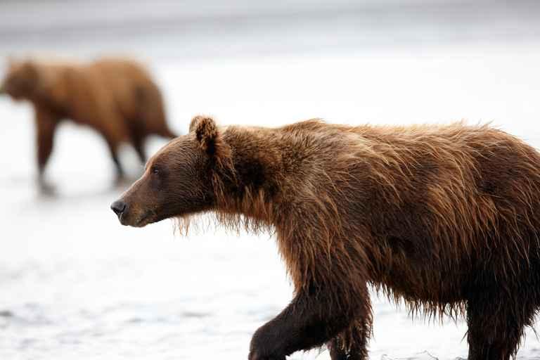 Dovolenka Aljaška, Yukon - volanie divočiny