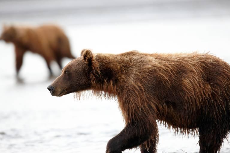Aljaška, Yukon - volanie divočiny