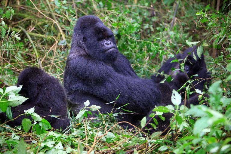 Dovolenka Safari a gorily