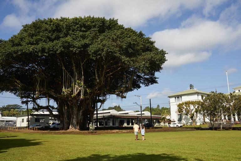Figovník banyan - najuznávanejší strom sveta